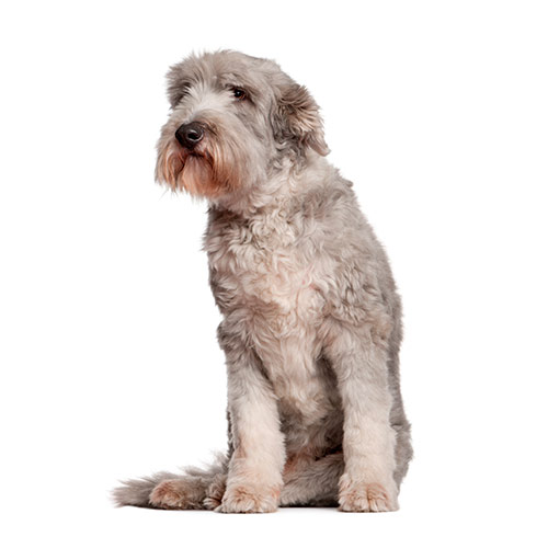 Races de chiens answer: BEARDED COLLIE