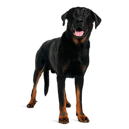 Races de chiens answer: BEAUCERON