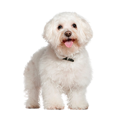 Races de chiens answer: BICHON FRISÉ