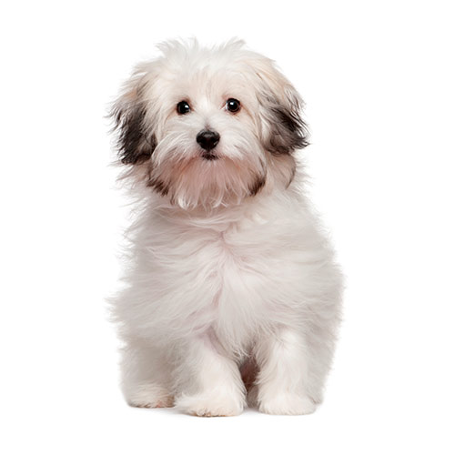 Races de chiens answer: BICHON BOLONAIS