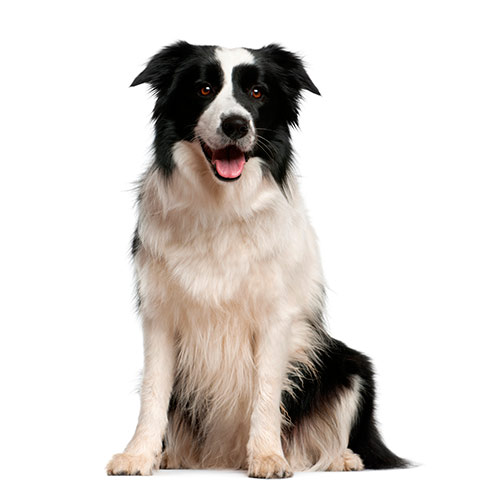 Races de chiens answer: BORDER COLLIE