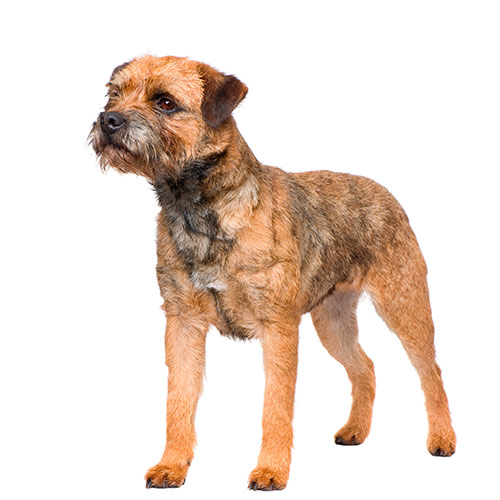 Races de chiens answer: BORDER TERRIER
