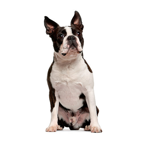 Races de chiens answer: BOSTON TERRIER