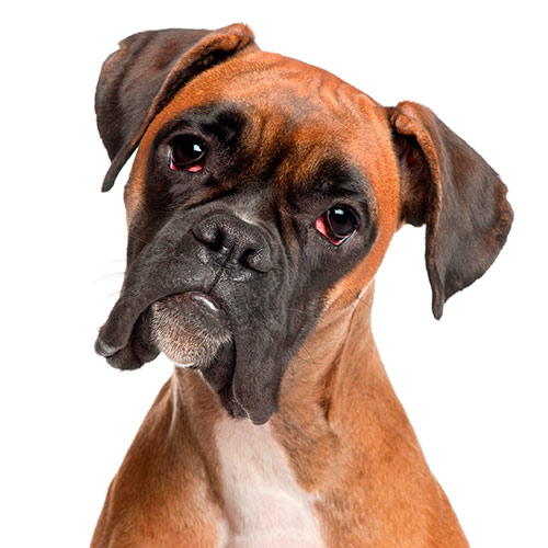 Races de chiens answer: BOXER