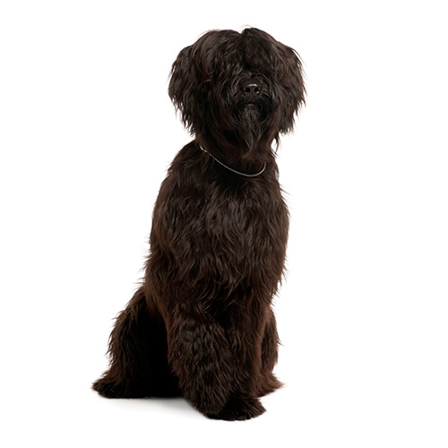 Races de chiens answer: BRIARD