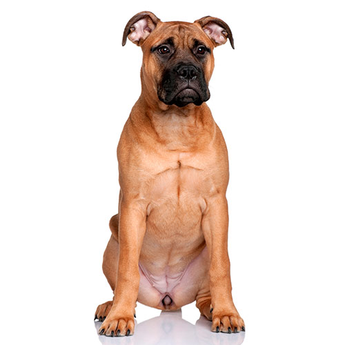 Races de chiens answer: BULLMASTIFF