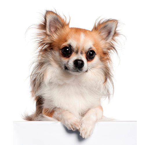 Races de chiens answer: CHIHUAHUA