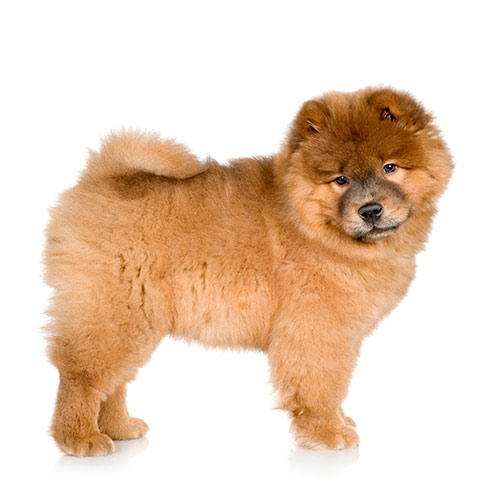 Races de chiens answer: CHOW-CHOW