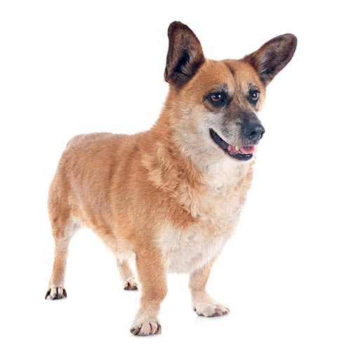 Races de chiens answer: CORGI