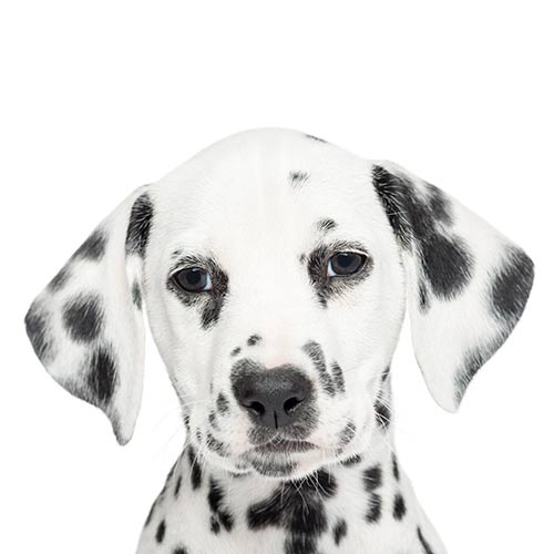 Races de chiens answer: DALMATIEN