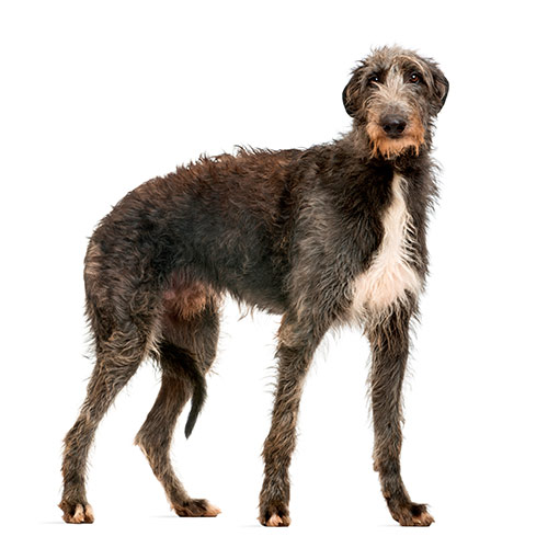 Races de chiens answer: DEERHOUND