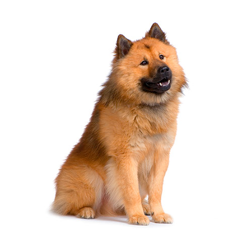 Races de chiens answer: EURASIER
