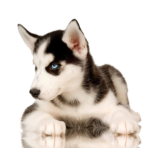 Races de chiens answer: HUSKY