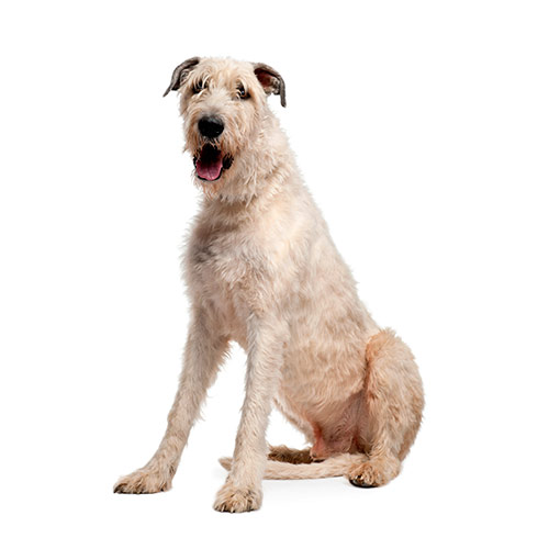 Races de chiens answer: WOLFHOUND