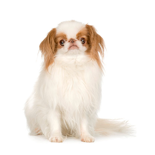 Races de chiens answer: JAPANESE CHIN