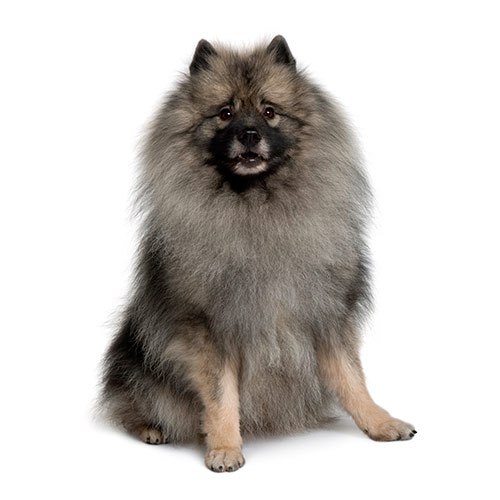 Races de chiens answer: SPITZ LOUP