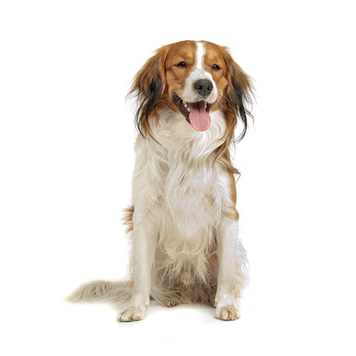 Races de chiens answer: KOOIKERHONDJE