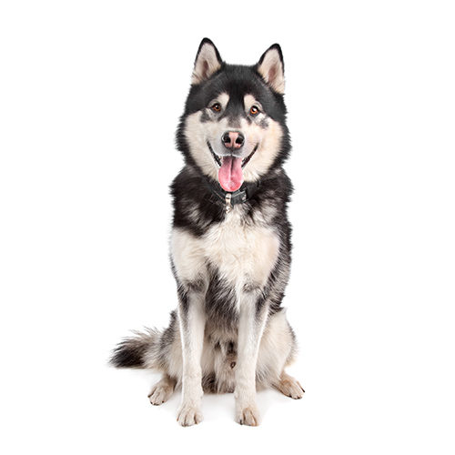 Races de chiens answer: MALAMUTE