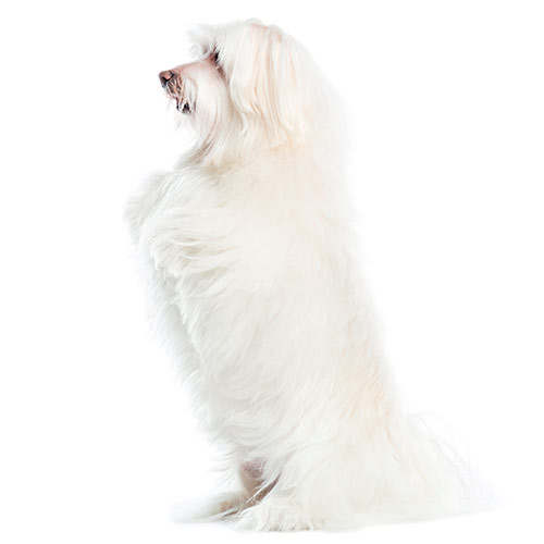 Races de chiens answer: BICHON MALTAIS