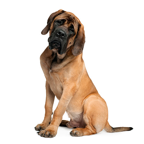 Races de chiens answer: MASTIFF