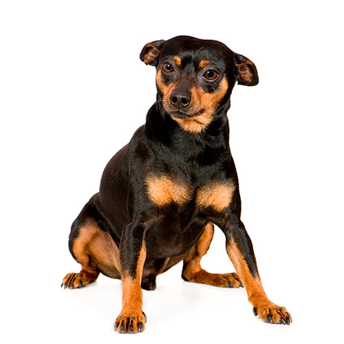 Races de chiens answer: PINSCHER NAIN