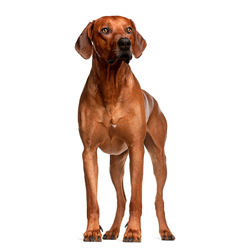 Races de chiens answer: RIDGEBACK