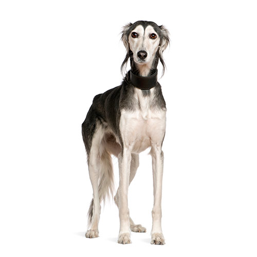 Races de chiens answer: SALUKI