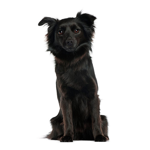 Races de chiens answer: SCHIPPERKE