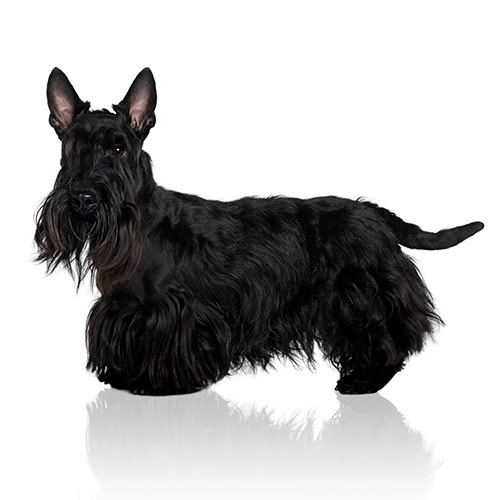 Races de chiens answer: SCOTTIE
