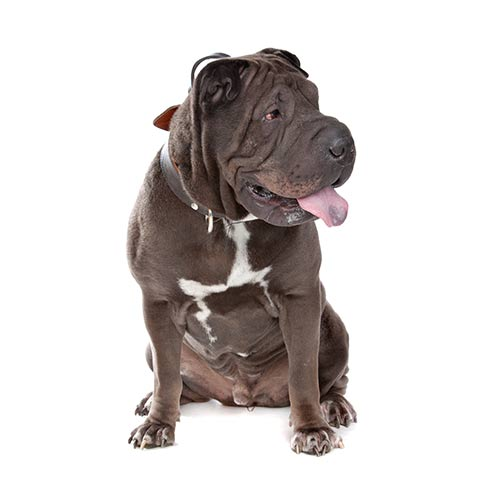 Races de chiens answer: SHAR-PEÏ