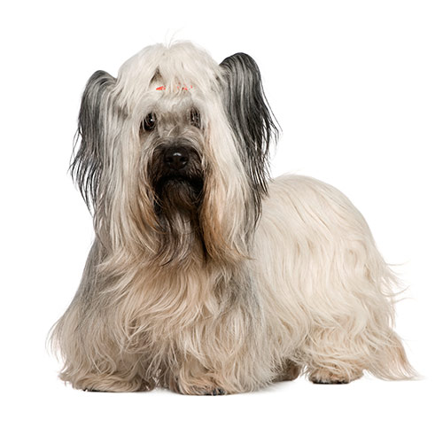 Races de chiens answer: SKYE TERRIER