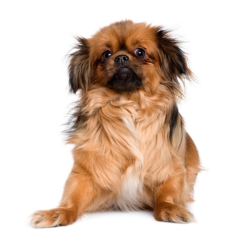 Races de chiens answer: TIBETAN SPANIEL