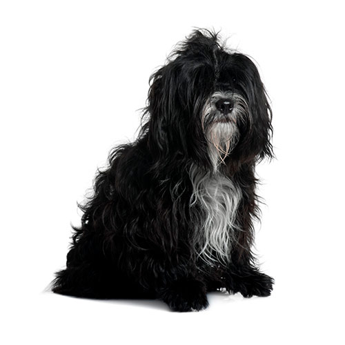 Races de chiens answer: TIBETAN TERRIER