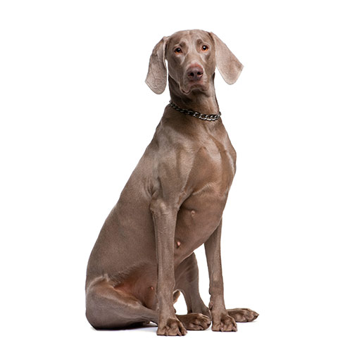 Races de chiens answer: WEIMARANER