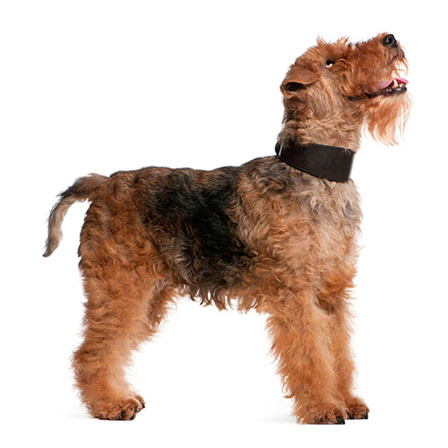 Races de chiens answer: WELSH TERRIER