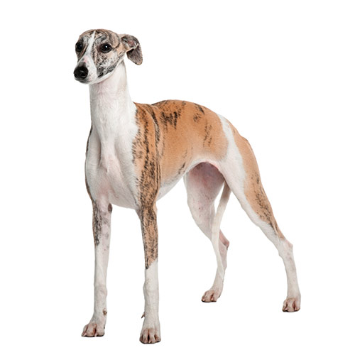 Races de chiens answer: WHIPPET